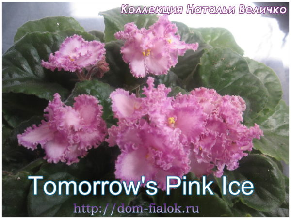 фиалка Tomorrow's Pink Ice
