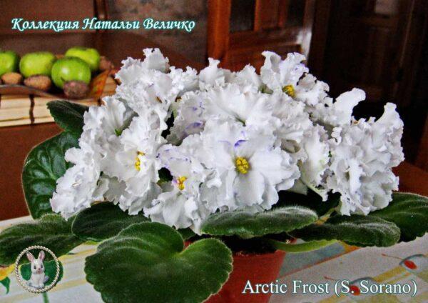 Arctic Frost (S. Sorano)