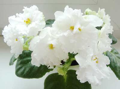 Arctic Frost (S. Sorano) белый