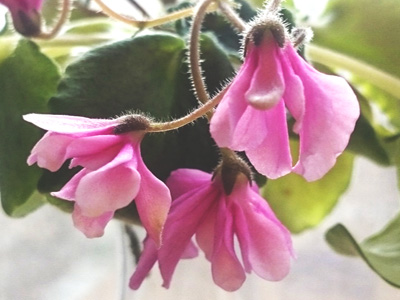 Lunar Lily (J.Dates)