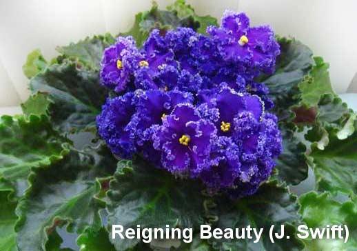 Reigning Beauty (Swift)