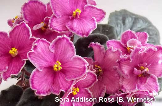 Sora Addison Rose (B. Werness)