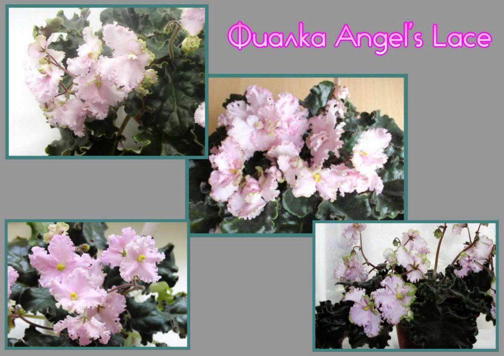фиалка Angel's Lace