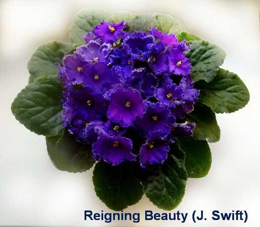 фиалка Reigning Beauty