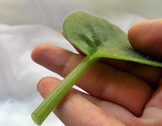 лист сенполии для укоренения