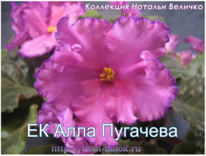 фиалка ЕК Алла Пугачева