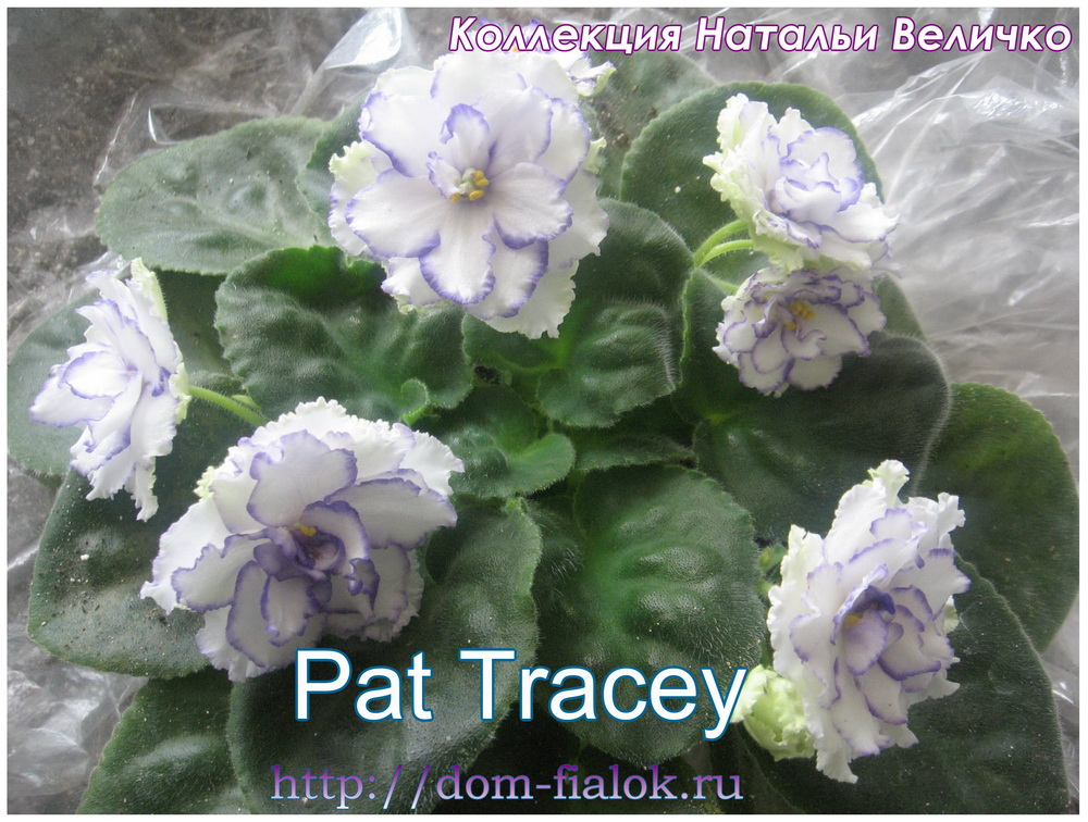 фиалка Pat Tracey