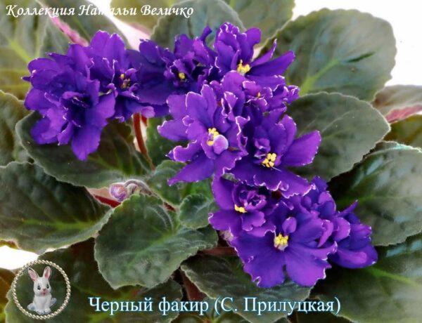 Черный факир (С. Прилуцкая)