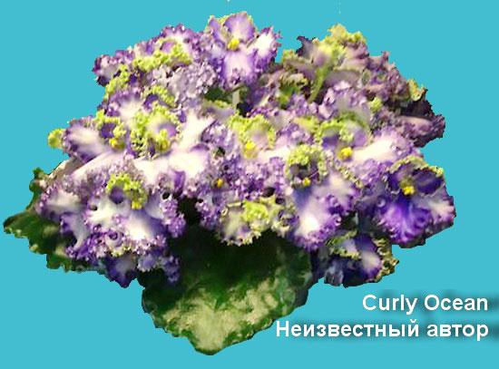 Curly Ocean Неизвестный автор
