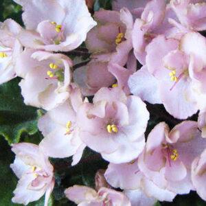 Emerald Pink (P. Sorano)