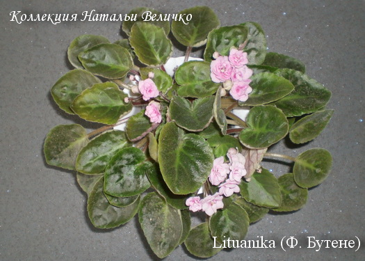 Lituanika Butene