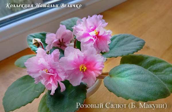 Розовый Салют (Б. Макуни)