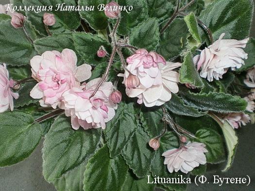 цветы Lituanika Butene