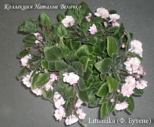 фиалка Lituanika F. Butene