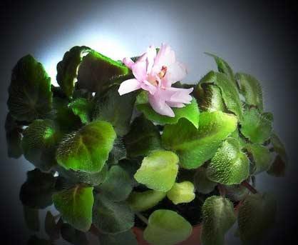 цветок маленькой фиалки