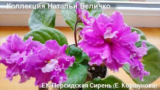 ЕК-Персидская Сирен (Е. Коршунова)