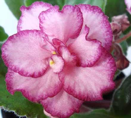 цветок-фиалки-Ян-Забава