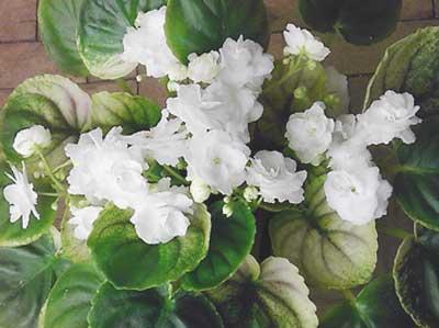 Белый Жемчуг (А. Щербаков)