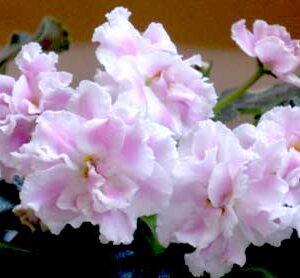 сенполия Розовая пантера (К. Морев)