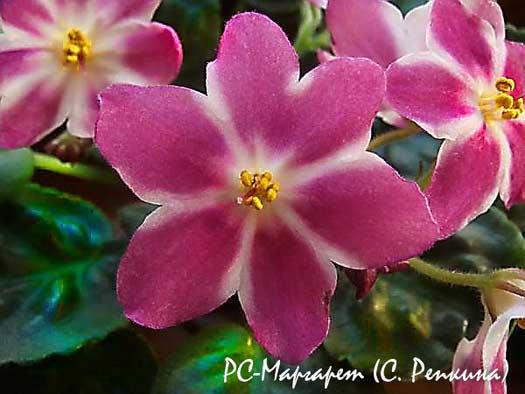 цветок РС-Маргрет