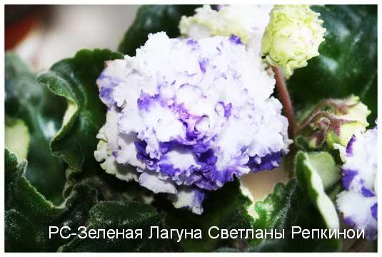 цветок РС-Зеленая Лагуна