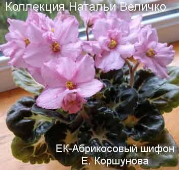 ЕК-Абрикосовый шифон Е. Коршунова