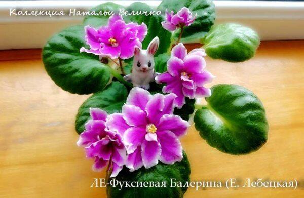 ЛЕ-Фуксиевая Балерина (Е. Лебецкая)
