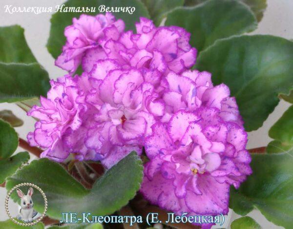 ЛЕ-Клеопатра (Е. Лебецкая)