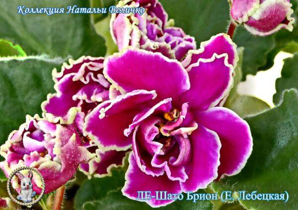 цветок ЛЕ-Шато Брион (Е. Лебецкая)