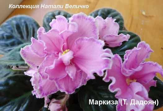 Маркиза Т. Дадоян