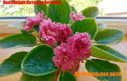 ле-пепельная роза лебецкой