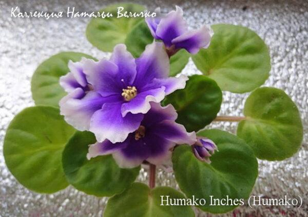 Humako Inches