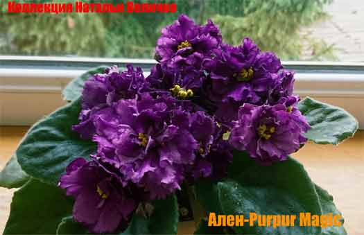 Ален-Purpur Magic (A. Вольская)