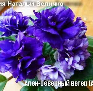 Ален-Северный ветер(А. Вольская)