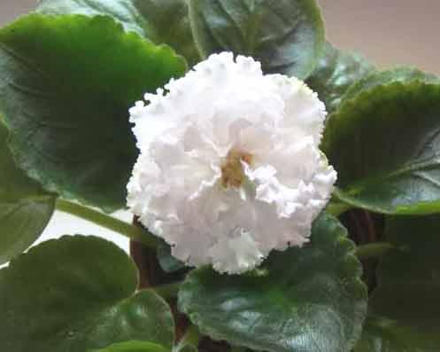 ек-сахарная роза