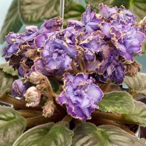 вянут цветы фиалки