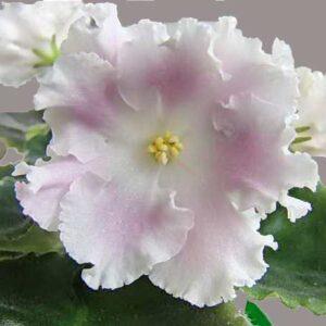 цветок РС-Избранная (С. Репкина)