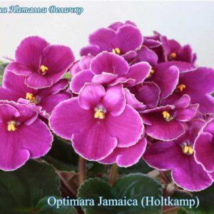 Optimara Jamaica (Holtkamp)