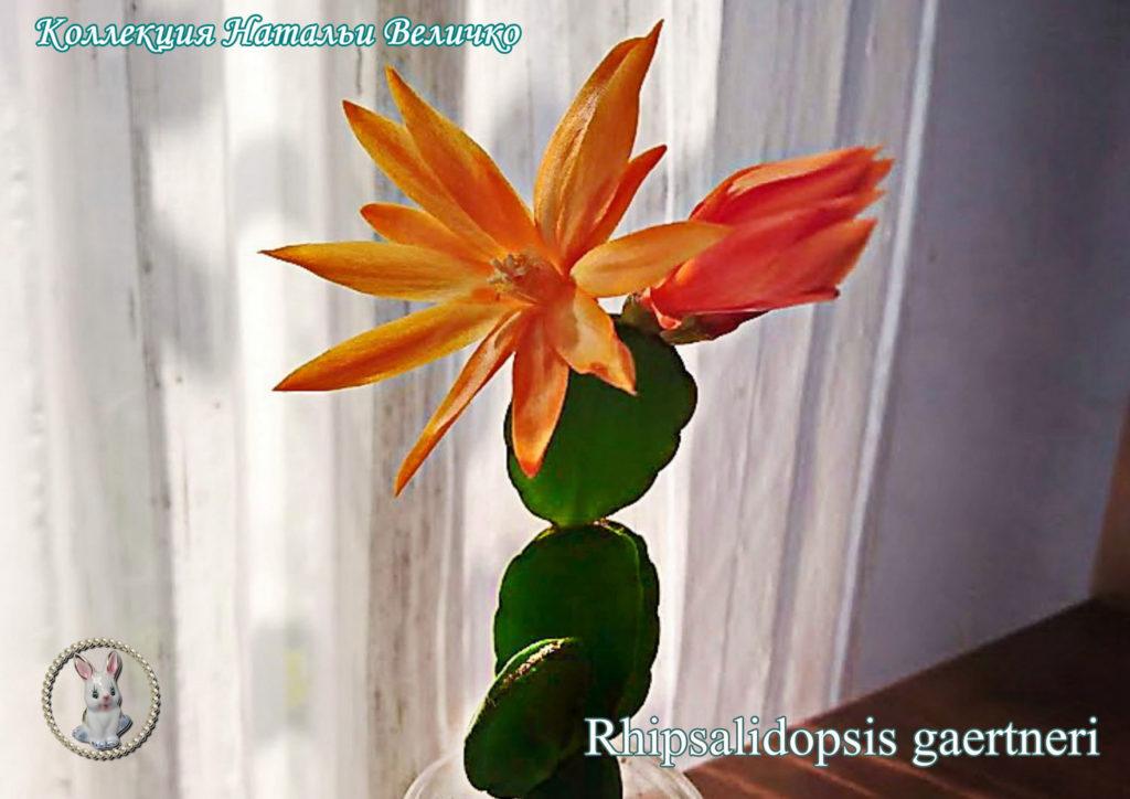 рипсалидопсис оранжевый (пасхальный кактус кактус)
