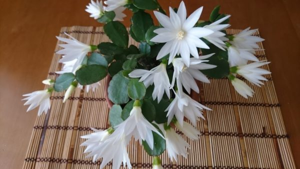 кактус рипсалидопсис