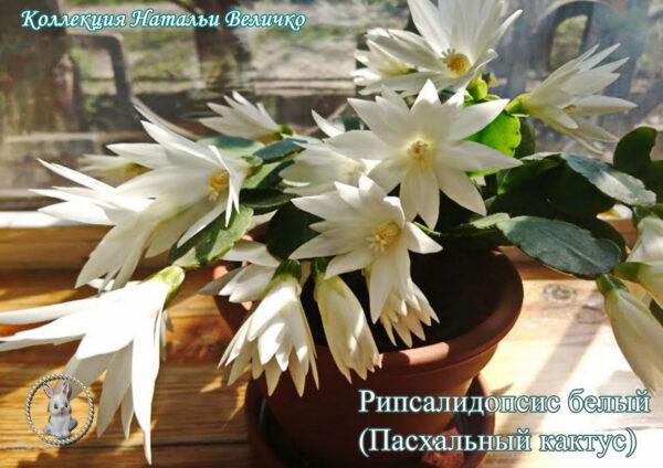 рипсалидопсис белый (лесной кактус)
