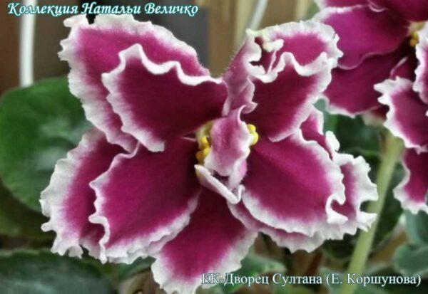 цветок ЕК-Дворец Султана (Е. Коршунова)