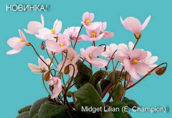 Midget Lilian (E. Champion)