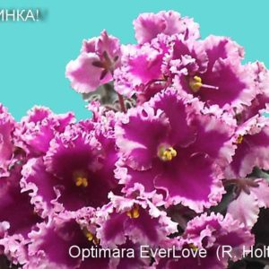 Optimara EverLove (R. Holtkamp)
