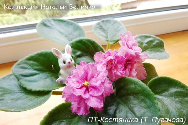 ПТ-Костяника