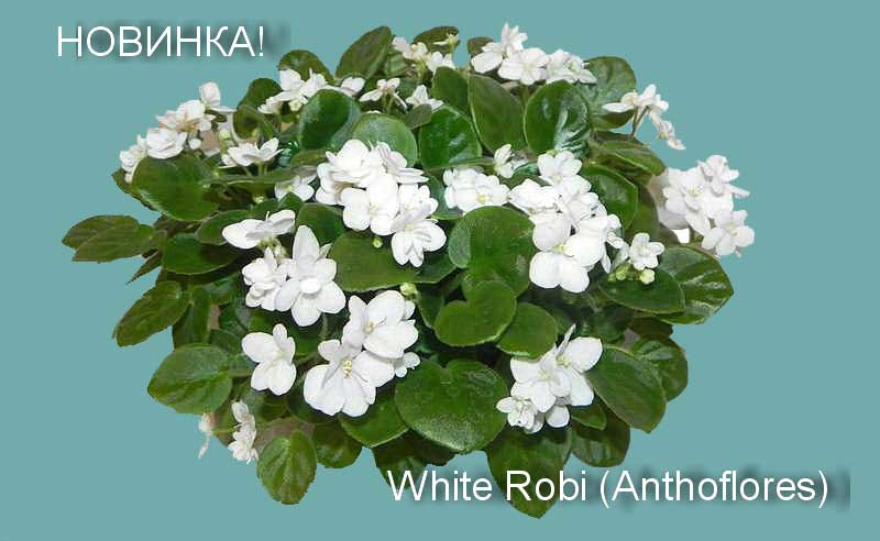 White Robi (Anthoflores)