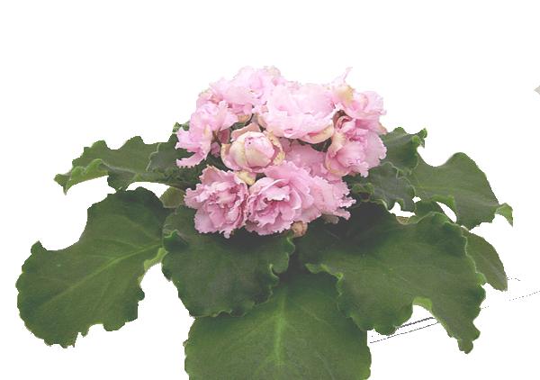 Ален-Сильва (А. Вольская)