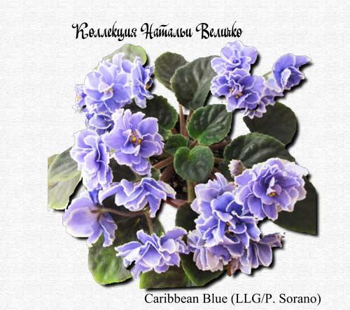Caribbean Blue (LLG/P.Sorano)