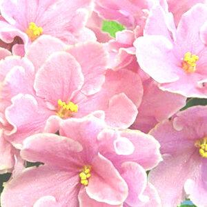 Pink Amiss (Eyerdom)
