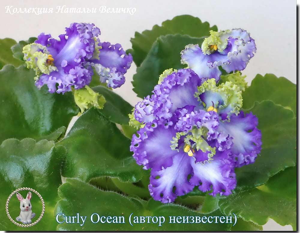 Curly Ocean (автор неизвестен)